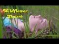 Wildflower de Skylark